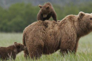 disneynature-bears-educational