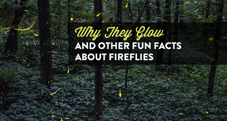 Why They Glow and Other Fun Facts About Fireflies ...