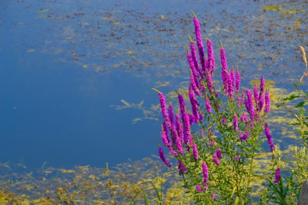 purple flowers growing by a lake
