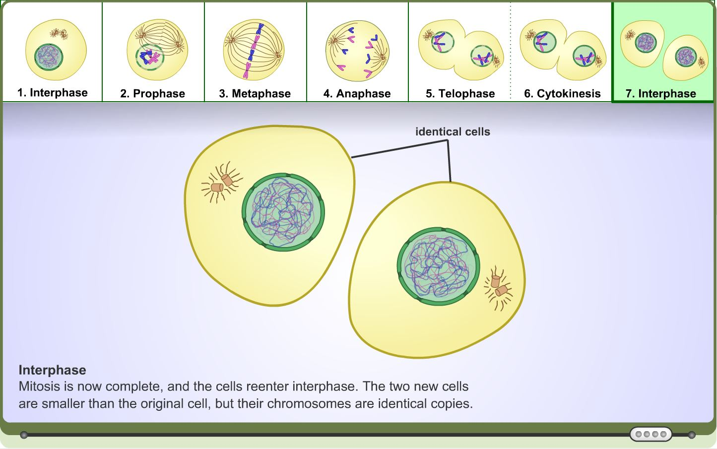 High School Science Learning Activity: Mitosis - Learning ...