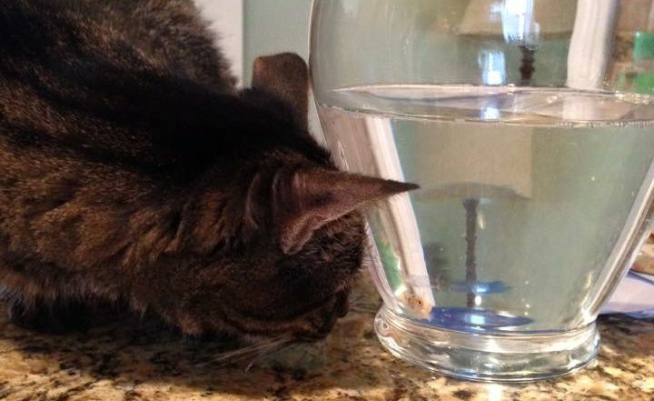 cat looking at fish in a bowl