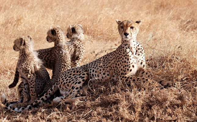 Mother cheetah with three cubs