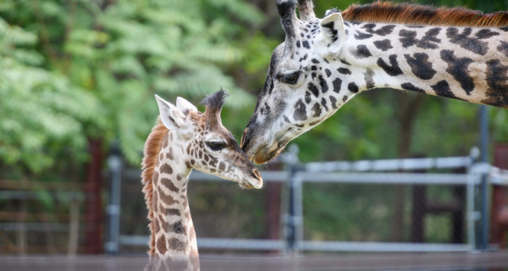 New Giraffe Mother And Baby Picture