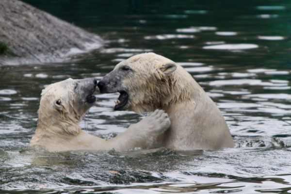 two polar bears in the water