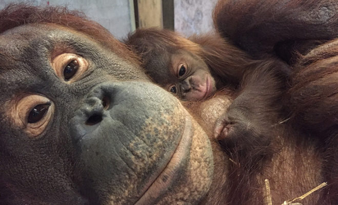 mother orangutan with baby
