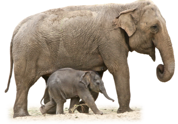 Adult and baby elephant walking