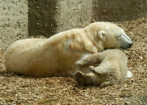 polar bear sleeping on cub
